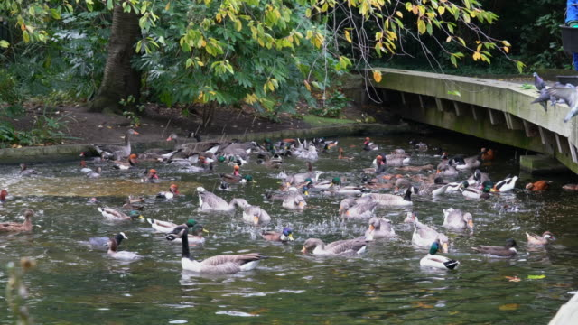 The man are feeding the water birds in park - video
