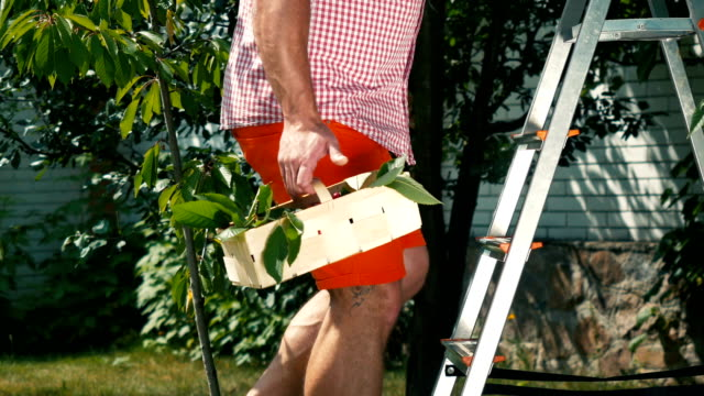 The man climbs the stairs in the garden with basket of cherry video