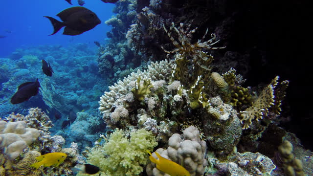 The marine life of tropical fish. Coral reef. video