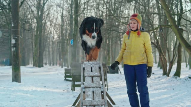the mature attractive woman, dog trainer, teaching the Bernese Mountain Dog to walk on the beam. video