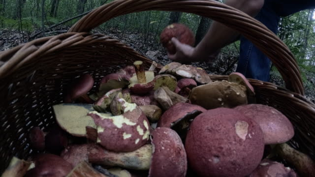 The mature man gathering mushrooms in the Appalachian's forest in Poconos, Pennsylvania video