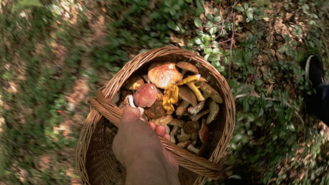 The mature man gathering mushrooms in the Appalachian's forest in Poconos, Pennsylvania, USA. Walking through the forest holding a basket fulfilled by the wild edible mushrooms video