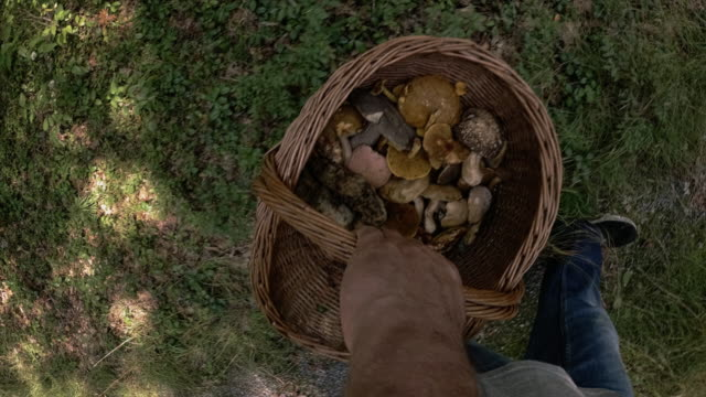The mature man gathering mushrooms in the Appalachian's forest in Poconos, Pennsylvania, USA. Walking through the forest holding a basket fulfilled by the wild edible mushrooms