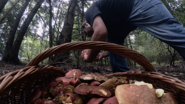 The mature man gathering mushrooms in the Appalachian's forest in Poconos, Pennsylvania