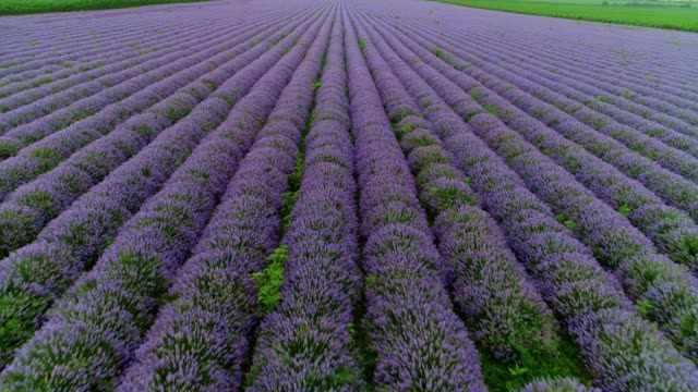 vídeos de stock e filmes b-roll de the modern farmer woman walking in her lavender fields in summer, small business and investment, agricultural occupation. - lavanda planta