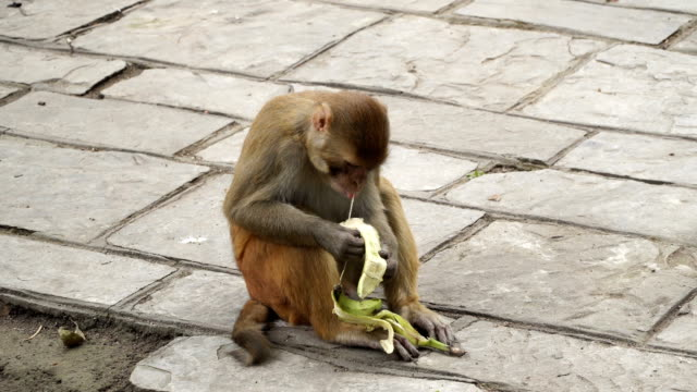 The monkey eats a banana. video