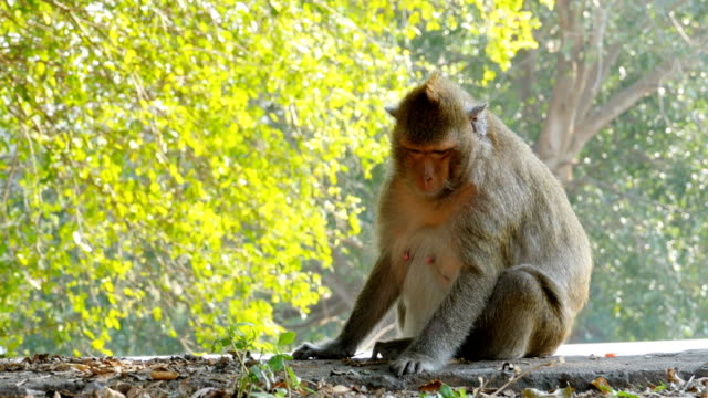 The monkey sits near the road in the national park. Thailand The monkey sits near the road in the national park. Road in the jungle. Thailand zoology stock videos & royalty-free footage