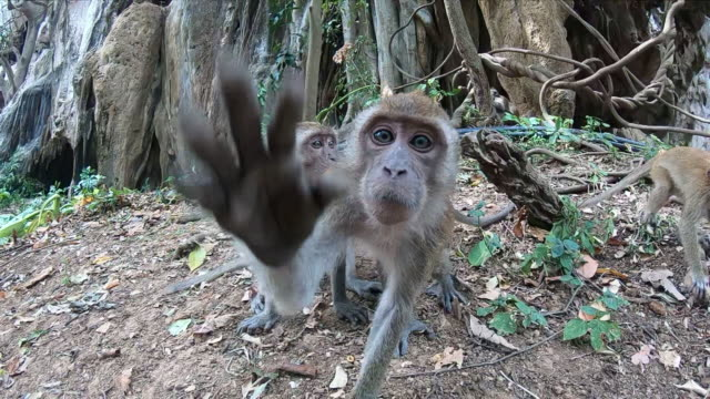 The monkey tries to grab the camera and reaches for it with his paw. Nearby are two more monkeys. One is eating.
