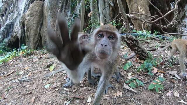 la scimmia cerca di afferrare la macchina fotografica e la raggiunge con la zampa. nelle vicinanze ci sono altre due scimmie. uno sta mangiando. - scimmia video stock e b–roll
