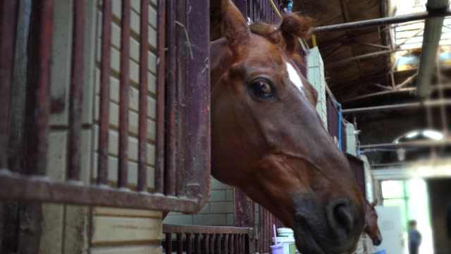 the muzzle of a horse looks out of the stall, horses in the stables - скаковая лошадь стоковые видео и кадры b-roll
