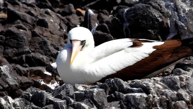 vídeos de stock, filmes e b-roll de o atobá de nazca, sula granti, das ilhas galápagos - atobá
