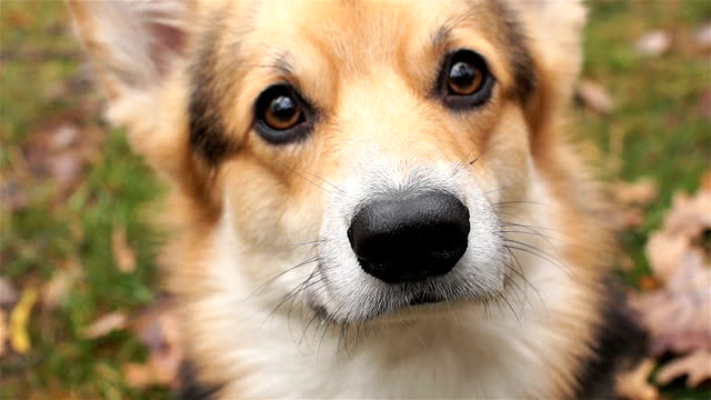The nose is close-up. The dog sniffs the air. Dog breed Welsh Corgi Pembroke on a walk in a beautiful autumn forest. video