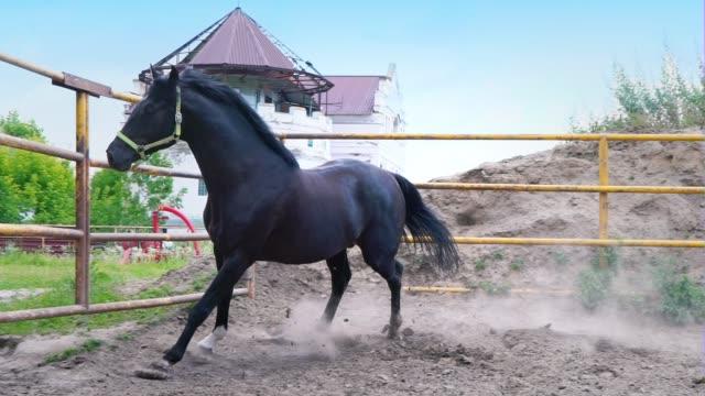 das hartnäckige schwarze pferd im galopp im fahrerlager unter freiem himmel. das pferd zeigt sein temperament - hengst stock-videos und b-roll-filmmaterial