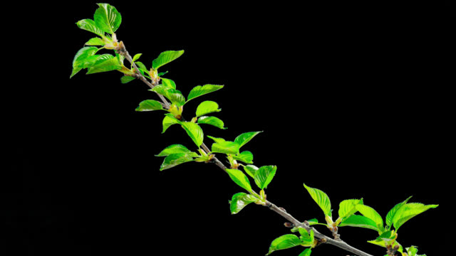 the opening leaves of sakura in spring, time-lapse with alpha channel - fronda video stock e b–roll