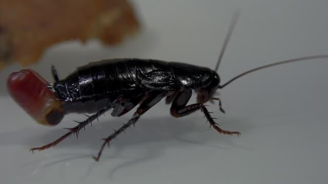 光の効果で白い背景に分離された東洋ゴキブリ (ゴキブリ クロマグロ) 誕生卵ケース (オオカマキリ) - 動物の身体各部点の映像素材/bロール