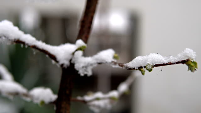 the pear blossoms under the spring snow. cinematic blurred background - albicocco video stock e b–roll