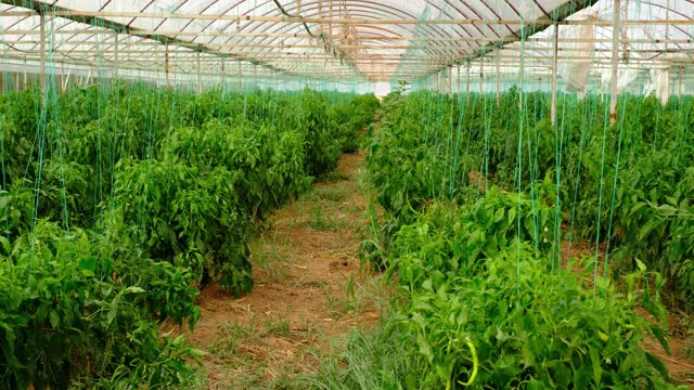 The peppers grown in the greenhouse are green. The concept of agriculture. Turkey - Middle East, Persian Gulf Countries, United Arab Emirates, Agricultural Field, Agriculture branch plant part stock videos & royalty-free footage
