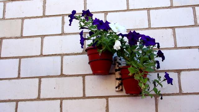 die petunienblüten im blumentopf an der wand - dekorative kunst stock-videos und b-roll-filmmaterial