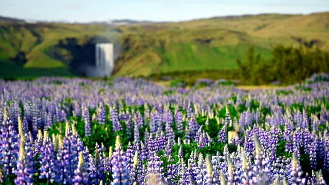 die malerischen landschaften der wälder und berge von island. wilde blaue lupine blühen im sommer. der schönste wasserfall - lupine stock-videos und b-roll-filmmaterial