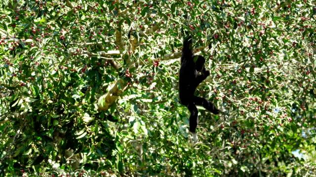 the pileated gibbon feeding on a tree - длина стоковые видео и кадры b-roll