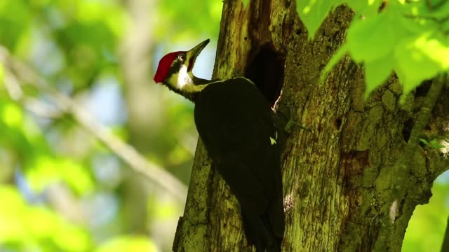 The pileated woodpecker in search of food