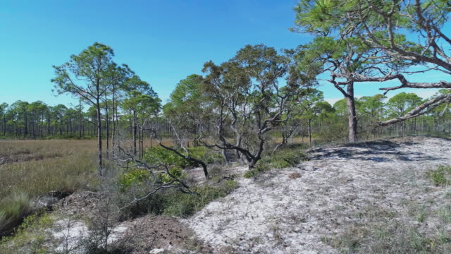 The pine forest on the Atlantic coast in North Florida, USA. Aerial drone video with the panning camera motion.