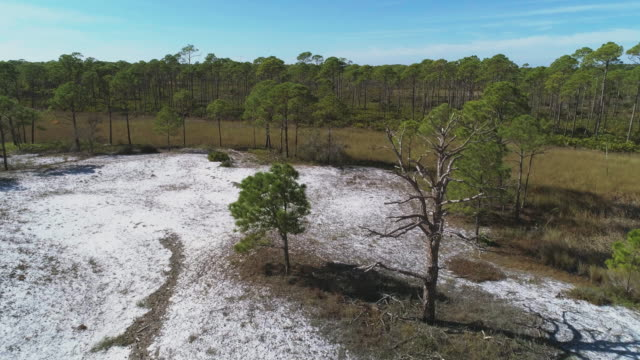 The pine forest on the Atlantic coast in North Florida, USA. Aerial drone video with the cinematic forward and ascending camera motion.