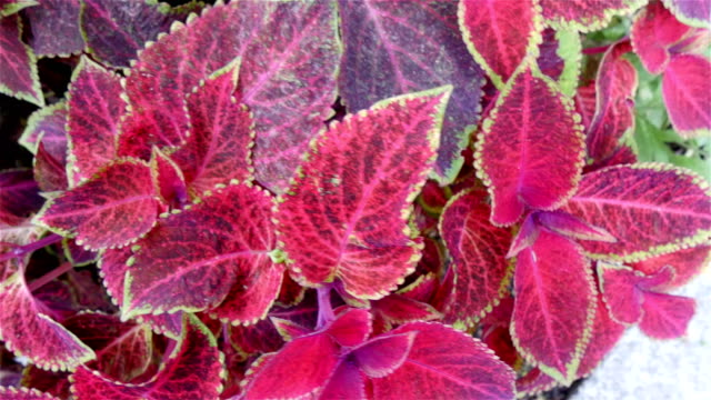 The pink leaves of the Plectranthus scutellarioides plant