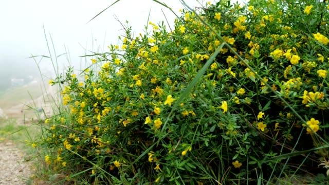 die pflanze jasminum fruticans mit gelben blüten wächst auf steinigem boden in den bergen. - jasmin stock-videos und b-roll-filmmaterial