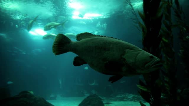 vídeos de stock e filmes b-roll de a batata bacalhau, epinephelus tukula (garoupa-batata) - bacalhau