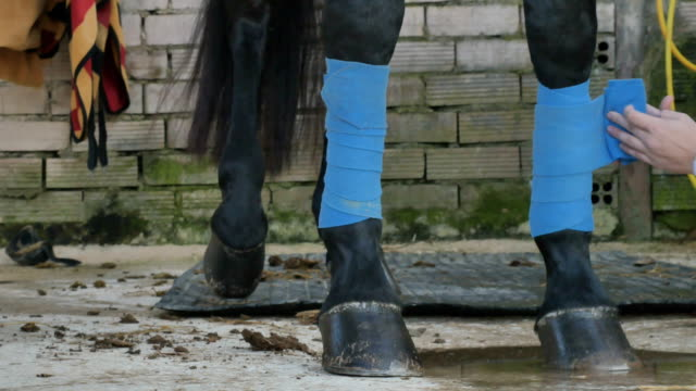 The process of bandaging a horse's legs video