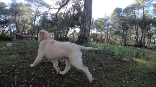 valphunden är en labrador i skogen - hund skog bildbanksvideor och videomaterial från bakom kulisserna