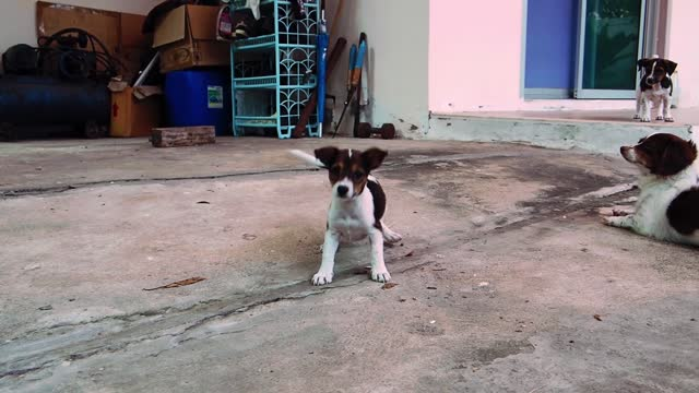 The puppy was playing, running left and right, expressing the desire to play with.