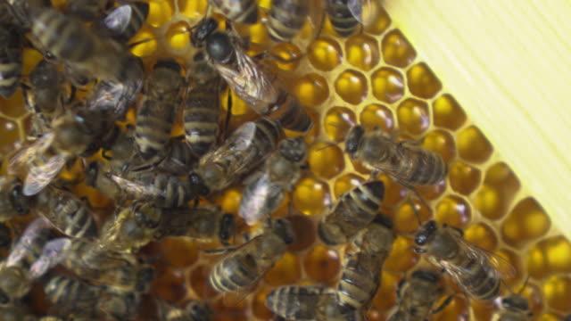 vídeos y material grabado en eventos de stock de la abeja reina se arrastra entre los obreros. primer plano de abejas arrastrándose sobre panales. las abejas están trabajando en la producción de miel en el apiario. - insecto himenóptero