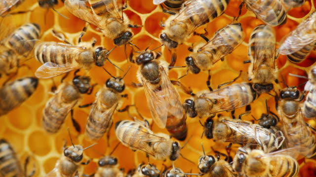 the queen bee surrounded by bees: that support and feed - ape regina video stock e b–roll