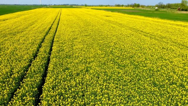 vídeos de stock e filmes b-roll de the rapeseed field, aerial view - crucíferas