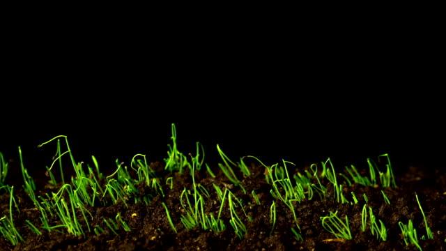 La rapida crescita di cipolle d'inverno, Time-lapse - video