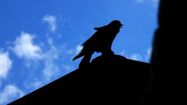 il corvo imperiale - appollaiarsi video stock e b–roll