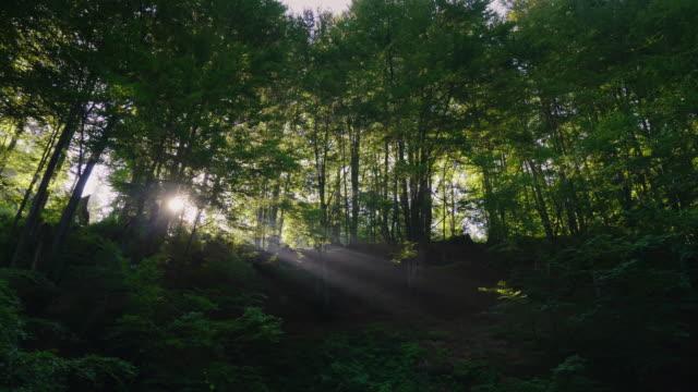 Los rayos del sol de la mañana brillan a través de los árboles en el bosque. Tiro de Steadicam - vídeo