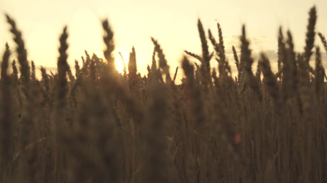 the rays of the sun making their way through the golden wheat in slow motion - tasty movie filmów i materiałów b-roll