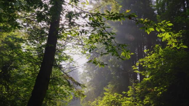 Los rayos del sol brillan a través de las ramas de los árboles. Bosque de mañana, aire cristalino y luz de niebla - vídeo