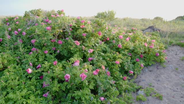 犬のバラの植物の赤い咲く花 - イヌバラ点の映像素材/bロール