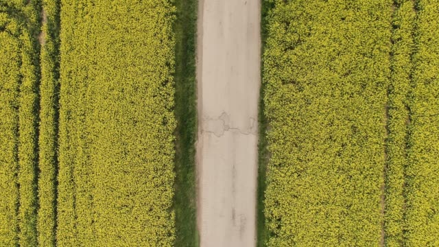 the red car rides from top to bottom on the road in canola oilseed field. aerial top view of agriculture land with old and broken rural road. - canola video stock e b–roll