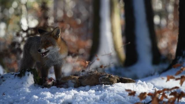 kırmızı tilki (vulpes vulpes) o ormanda yakalanan bir tavşan yiyor - etçiller stok videoları ve detay görüntü çekimi