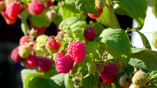 vídeos y material grabado en eventos de stock de la fruta roja frambuesa en la planta - frambuesa