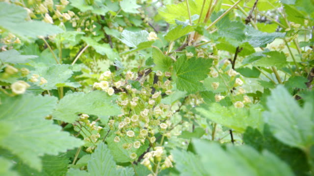 the redcurrant plant on the garden with the blooming flowers - ribes rosso video stock e b–roll