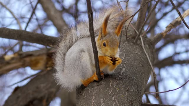 The red-gray Squirrel sits on a tree on a cloudy spring day and eats a nut.