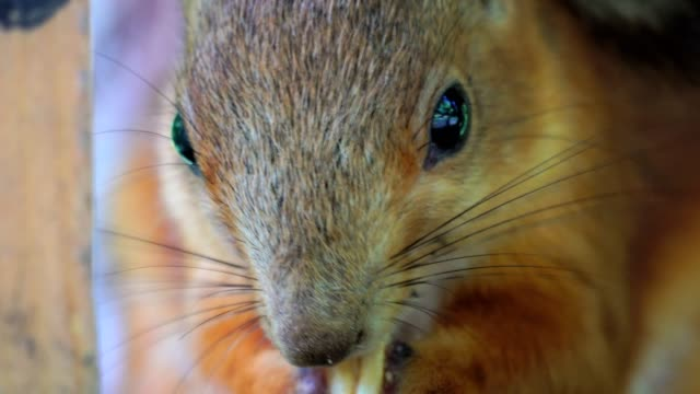 The red-haired squirrel sits and eats peanuts. People often bring food to the squirrel, nuts and seeds. Close-up of head of squirrel. A summer morning in the park. video