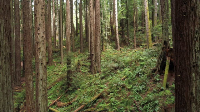 The Redwoods forest near Arcata in Northern California, USA West Coast. Drone video with the camera flying forward between the trees.