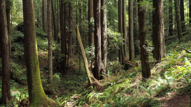 The Redwoods forest near Arcata in Northern California, USA West Coast. Drone video with the complex forward and descending, then ascending, camera motion, flying between the trees.